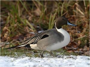 Die Spießente (Anas acuta) ist eine Vogelart aus der Familie der Entenvögel (Anatidae).